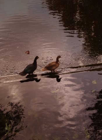 ducks walking on water
